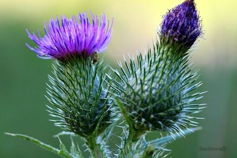 thistle purple blooms SB