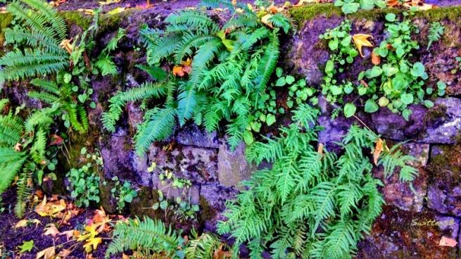 Ferns old wal SBl