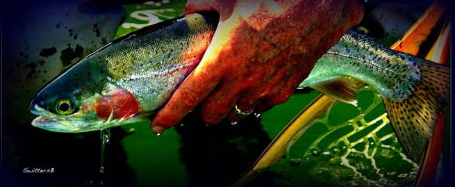 SwittersB Rainbow Trout Release Photography