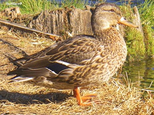 -friendly duck SwittersB ™