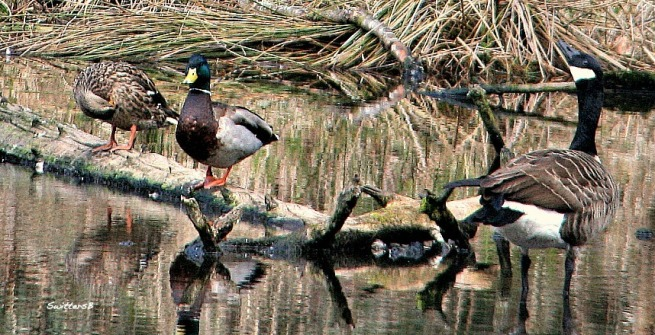 photography-birds-ducks-goose-swittersb-reed lake