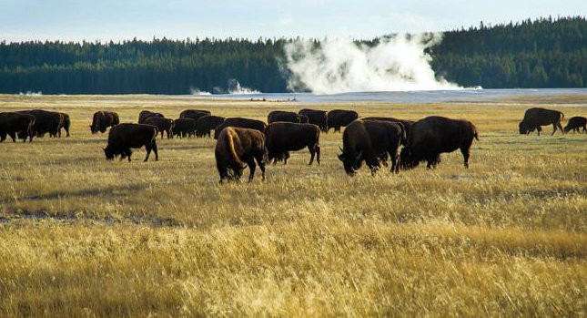 Photography-Bison-Yellowstone-Killed-SwittersB