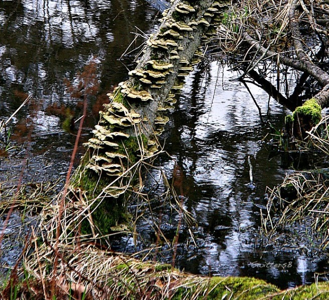photography-bracket fungi-conks-nature-trees-swittersb