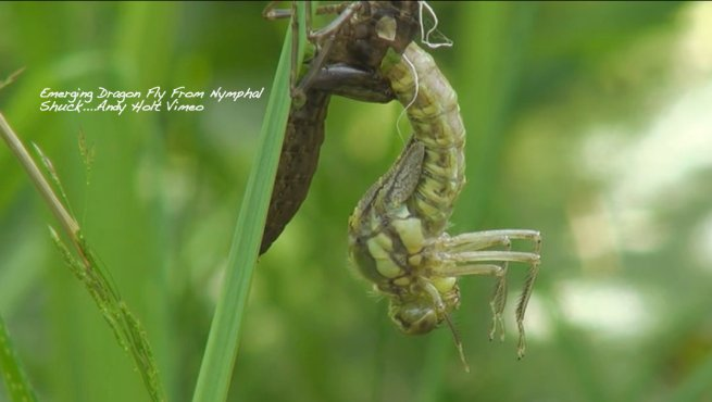 Photography-Dragon Fly-Emerger-Andy Holt-SwittersB-Vimeo