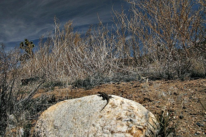 photography-lizard-desert-SwittersB