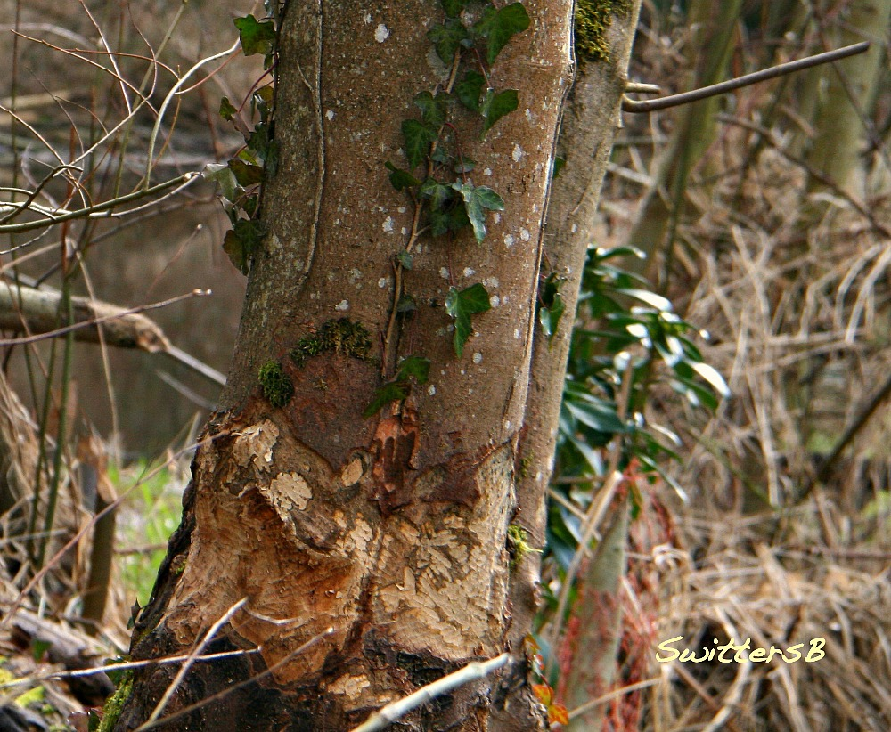 photography-beaver-ivy-damage-nature-tree-swittersb
