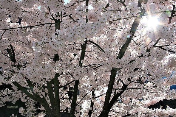 Photography-Blossoms-Trees-Portland-SwittersB
