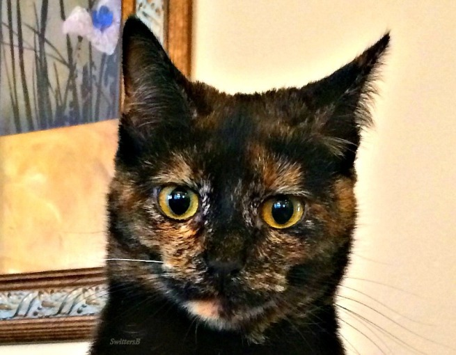 photography-cat-calico-cat eyes-SwittersB