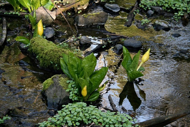 Photography-Nature-Wetland-Skunk Cabbage-Oregon-SwittersB