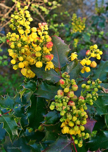 photography-plants-oregongrape-berries-Reed Canyon-SwittersB