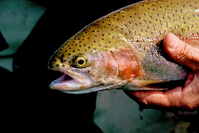Photography-Rainbow Trout-Oregon-Fly Fishing-SwittersB--