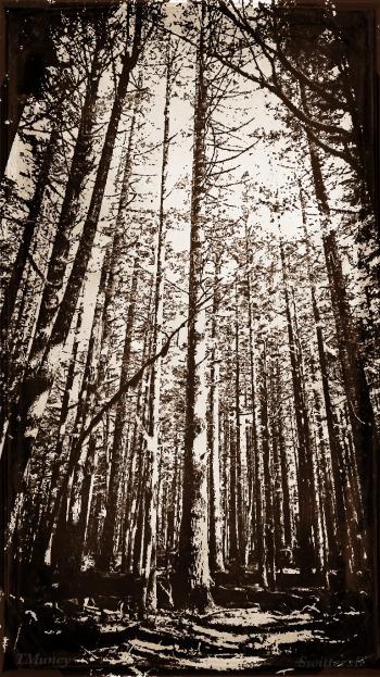 --photography-tall trees-Oregon-TMuncy-SwittersB