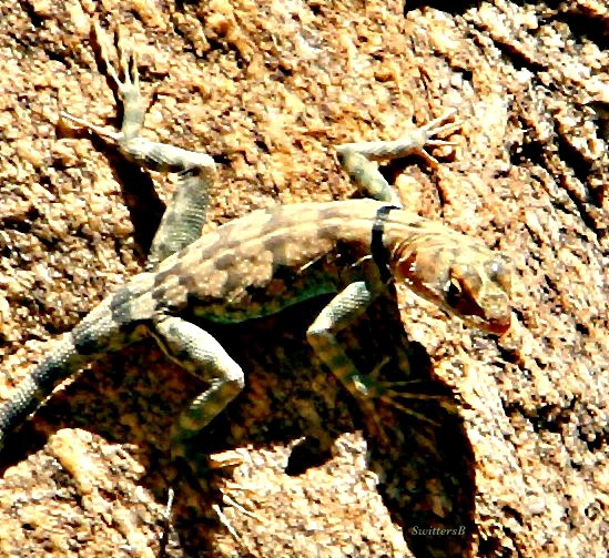 photography-banded rock lizard-Tahquitz Canyon-SwittersB