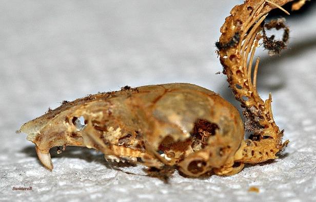 photography-dead mouse skull spine-SwittersB