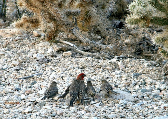 photography-finches-birds-Mojave Desert Knoll-SwittersB