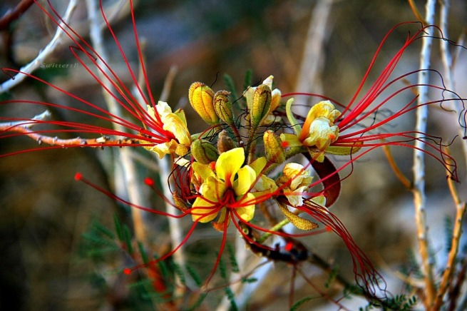 photography-flowers-desert-mexican bird of paradise-SwittersB