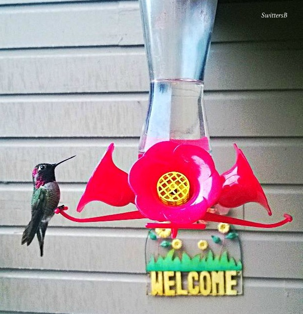 Photography-Hummingbird-Feeder-Birds-SwittersB