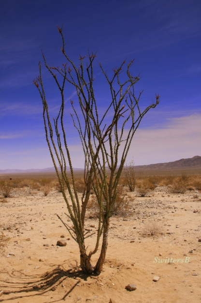 photography-Joshua Tree-ocotillio-cactus-desert-SwittersB