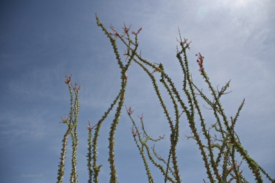 photography-joshua tree-ocotillo-