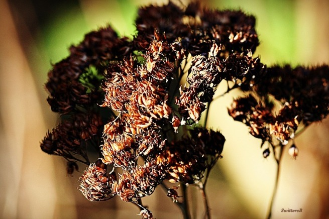 photography-macro-dried flower-SwittersB