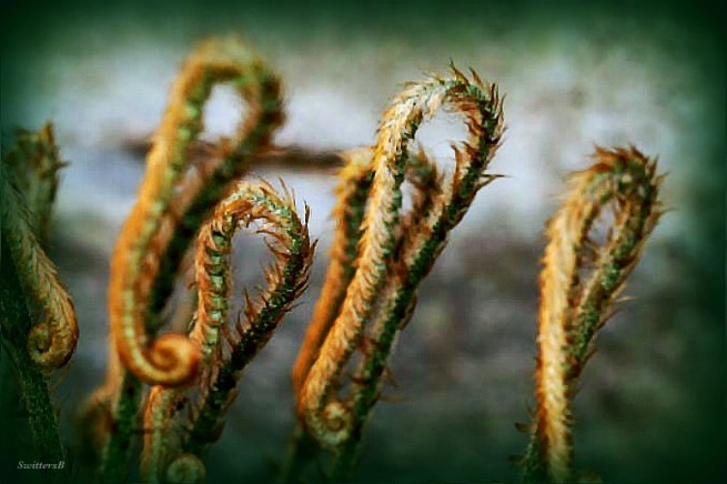 photography-macro-unfolding ferns-SwittersB