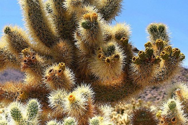 photography--Mojave Desert-Cholla Cactus-Flora-SwittersB