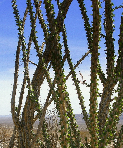 photography-ocotillo-cactus-joshua tree-desert-SwittersB