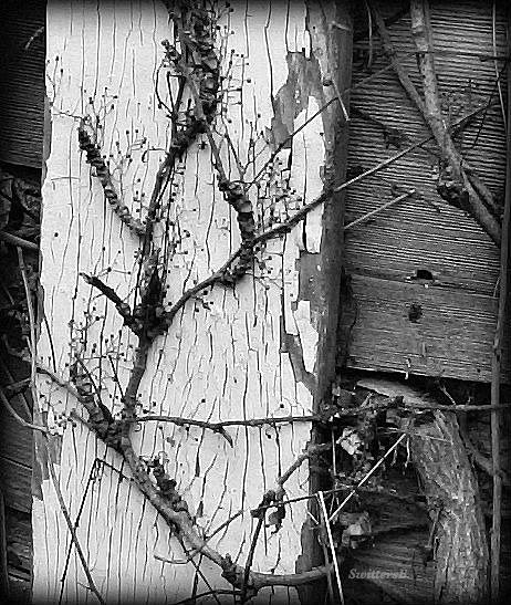 Photography-old wood-vines-SwittersB