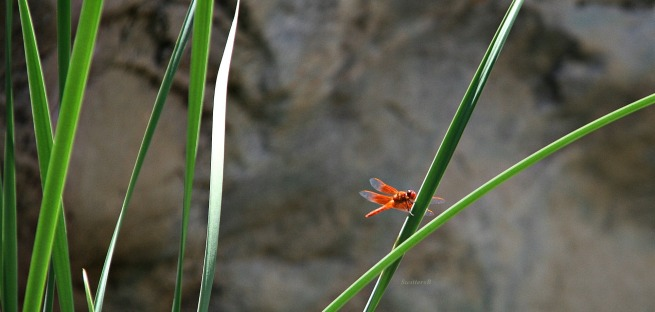 photography-orange dragon fly-Tahquitz Canyon-SwittersB