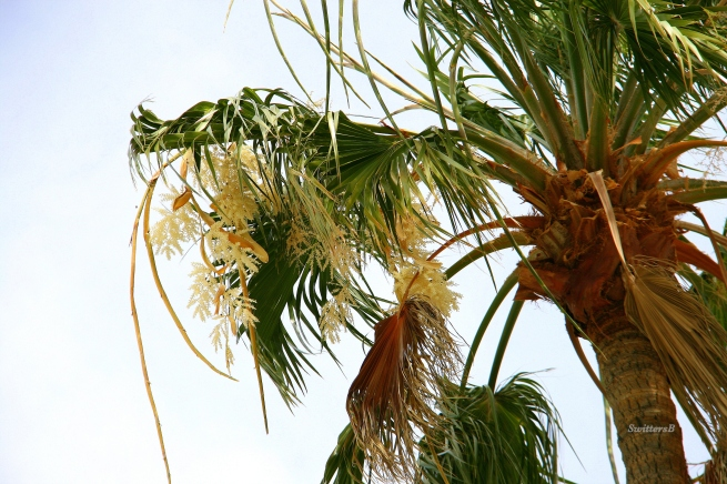 photography--palm tree flowers-Switters