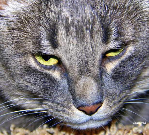Photography-Pets-Cats-Tabby-SwittersB