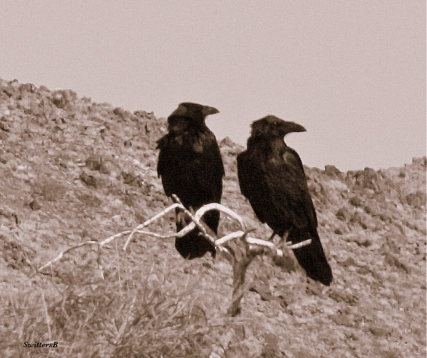 photography-Ravens-birds-Mojave Desert-SwittersB