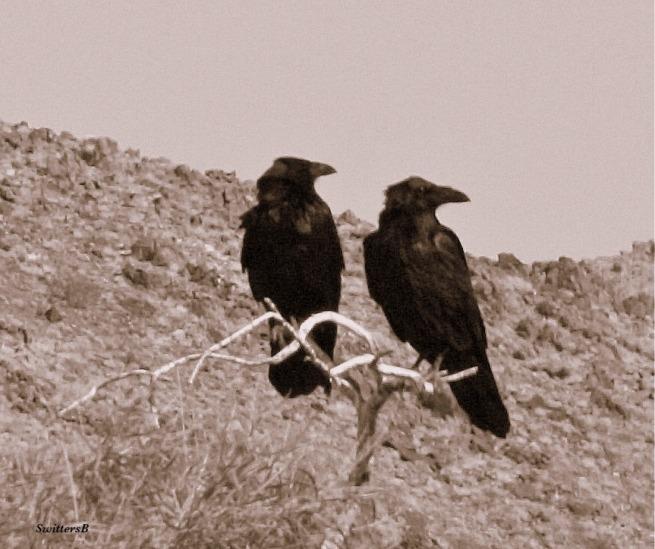 photography-Ravens-birds-Mojave Desert-SwittersB