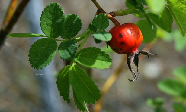 photography-red berry--SwittersB