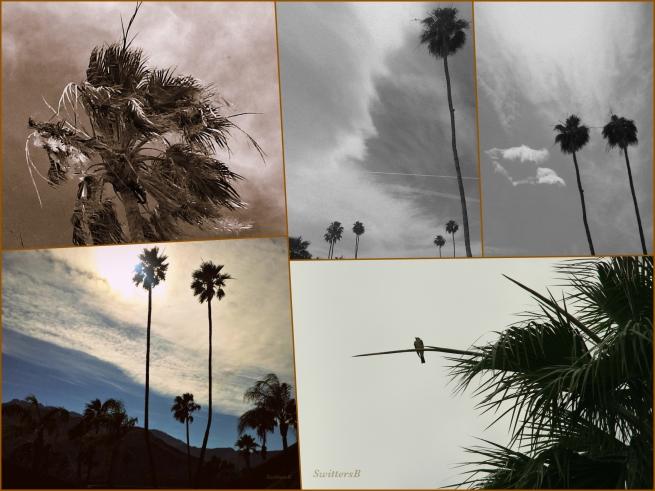 photography-swittersb-desert-palm trees