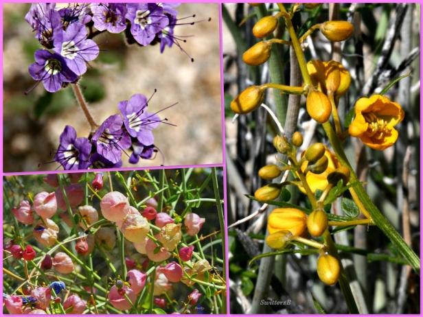 photography--swittersb-wildflowers-Mojave Desert