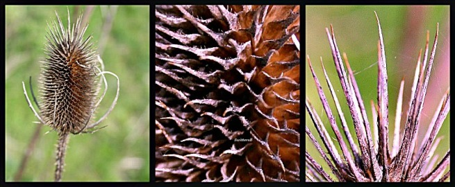 photography-thistle-macro-SwittersB