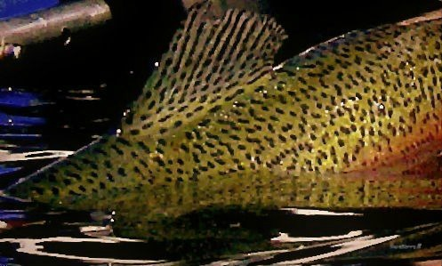 photography-trout-rainbow-fish-fly fishing-Oregon-SwittersB