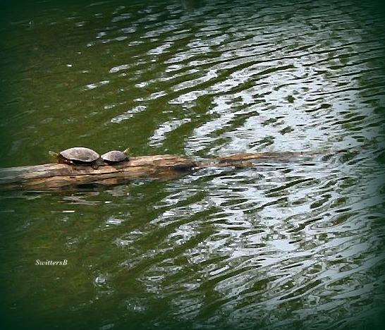 Photography-Turtles-Columbia Slough-Portland--SwittersB