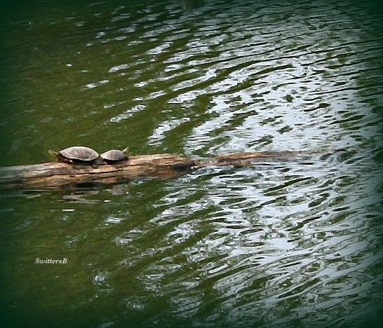 Photography-Turtles-Columbia Slough-Portland--SwittersB