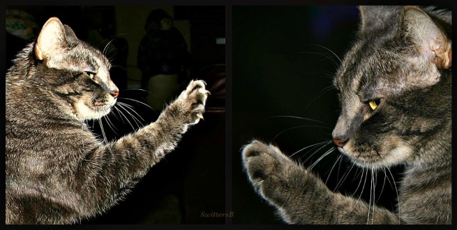 Penny-Tabby Cat-Cat Photography-reaching-Family Pets- SwittersB