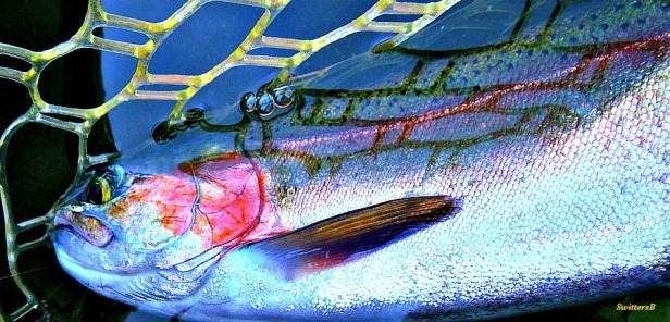 Photography-big trout-rainbow-fly fishing-Springtime-SwittersB