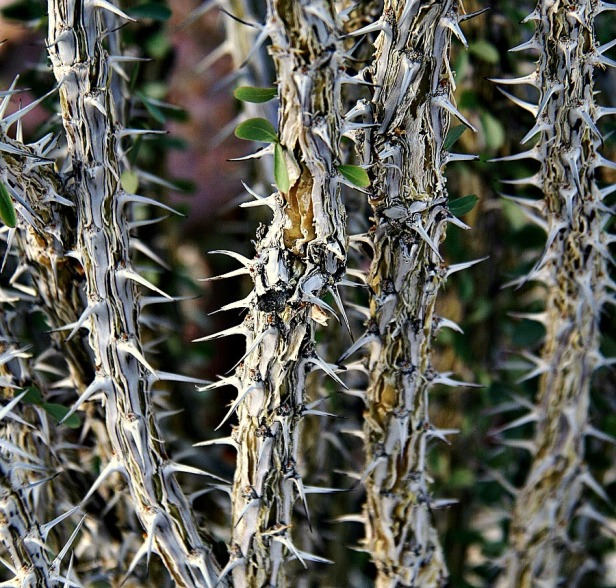 photography-cholla cactus-swittersb-thorns-privacy