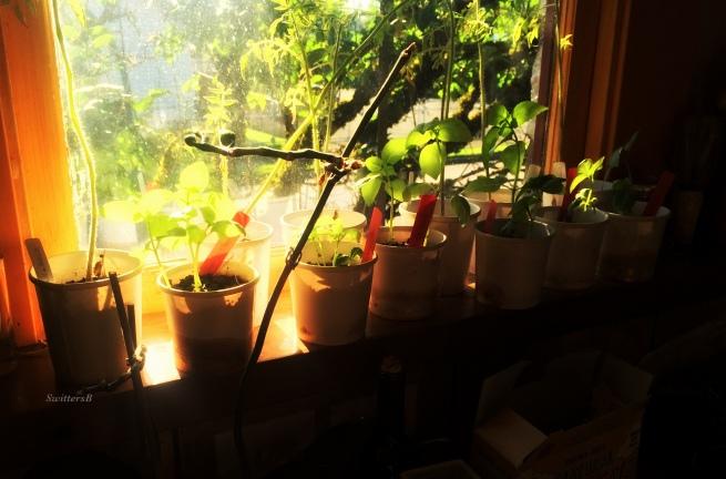 photography-gardening-starts-window-light-SwittersB