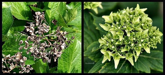 photography-hydrangeas-gardening-SwittersB