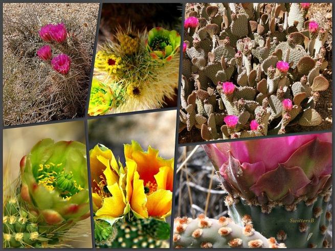 Photography-Joshua Tree-Mojave Desert-Cactus Blooms