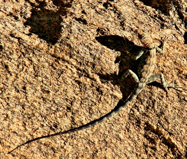 photography-lizard-banded-desert-tahquitz-SwittersB