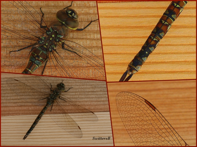 photography-nature-dragon fly-macro-SwittersB