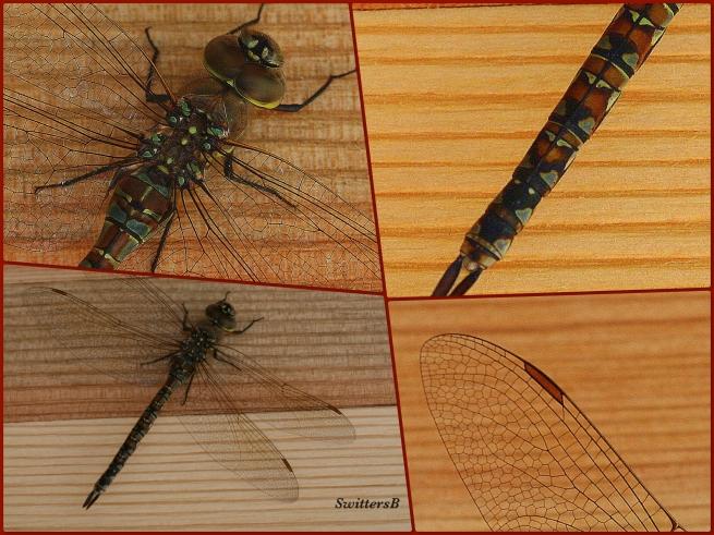 photography-nature-dragon fly-macro-SwittersB