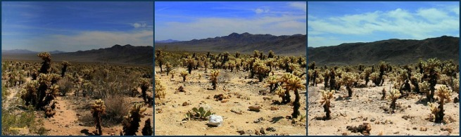 photography-panorama-fractured-SwittersB-Cholla Gardens-Mojave Desert